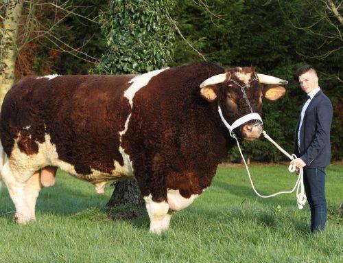 Le taureau le plus lourd du monde s'appelle Fêtard