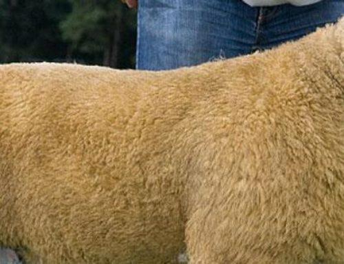 L'incroyable prix du mouton le plus cher du monde